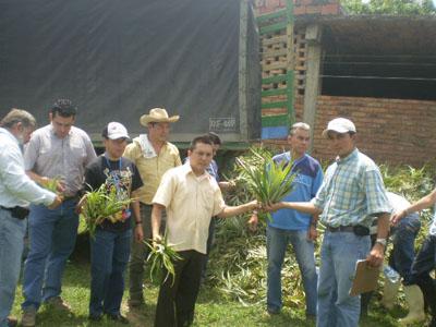 Proyecto De Piña Cayena En El Municipio De Los Patios