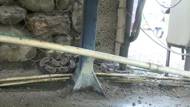 Caso Boa Constrictor de la Familia Boidae (2)