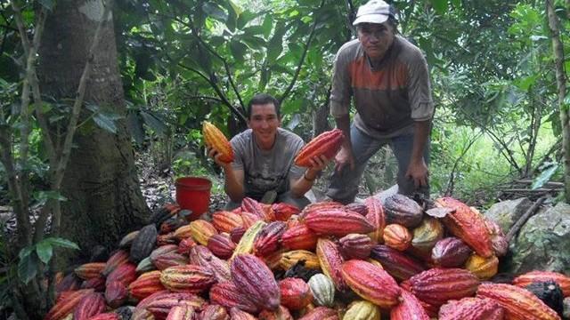 Sigue el Fortalecimiento del Sector Cacaotero 1