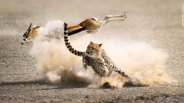 Picture Shows: A last second leap saves a Thomson's gazelle from a cheetah's trip. Cheetahs are the fastest land animals on the planet, reaching top speeds of almost 60mph when chasing their prey. However, the success or failure of a hunt is determined both by the cheetah's speed, and also by how well it can match the twists and turns of its prey; this one has been out maneuvered. This photograph was not shot on location during filming of The Hunt.