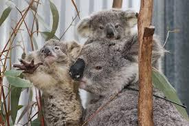 Incendios y enfermedades amenazan la superviviencia de los koalas (FOTOS) |  Apuntoenlinea.com